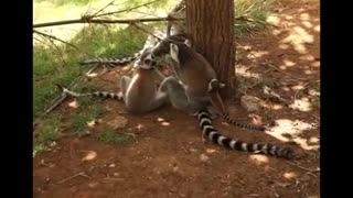 world of wildlife - Lemurs of Madagascar, Baby Ring-Tailed Lemurs - Episode 1 - Video