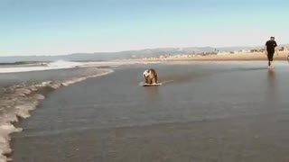 Surfing and Skating Dog of the day - Video