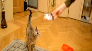 Cat stands like a human for food  - Video