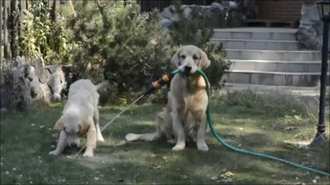 Golden Retriever holds water hose in mouth for puppy