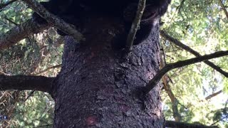 Bear Dances in Tree - Video