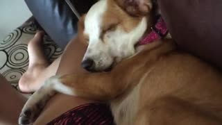 Brown dog on sofa licking owners leg  - Video