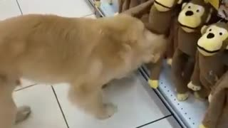 Golden Retriever Puppy Picks Out A New Toy At The Pet Store - Video
