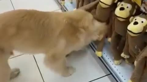 Golden Retriever Puppy Picks Out A New Toy At The Pet Store