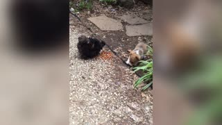 Corgi Pup Watches Over Chickens - Video