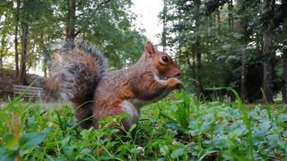 A squirrel eating hazelnuts is amazing speed