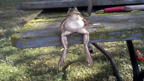 Bullfrog Casually Hangs Out On A Park Bench