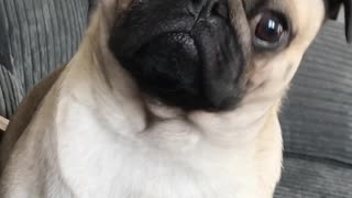 Pug gets excited over talk of food