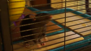 Rats in a cage doing their thing