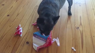 Flo the French Bulldog loves opening Christmas presents