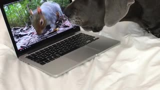 Dog barks at squirrel on laptop - Video