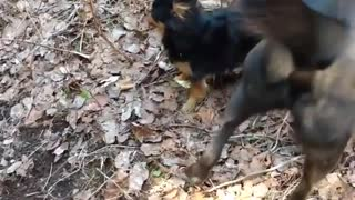 Small black chihuahua bullies black dog - Video