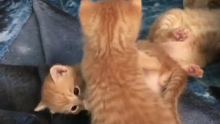 Kittie little cats play with their Mom