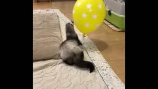 Ferret plays Balloon In Home  - Video