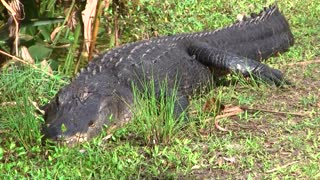 Terrifying walk past 12-foot alligator Southwest Florida trail - Video