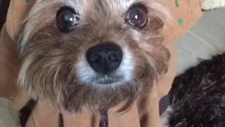 Brown dog in funny bear costume - Video