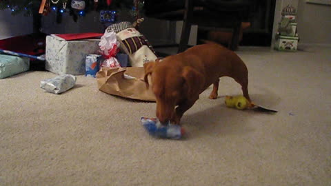 Dachshund opens presents on Christmas morning