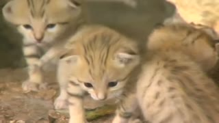 Rare sand kittens make public debut - Video