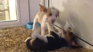 Two little puppies playing  - Video
