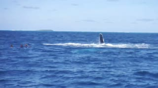 Humpback Whale swims and splashes with spectators - Video