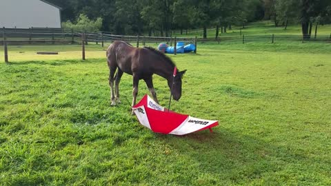 Brave 3 month old foal loves her new toy - an umbrella