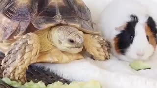 Rare animal friendships: Tortoise & Guinea Pig share snack together