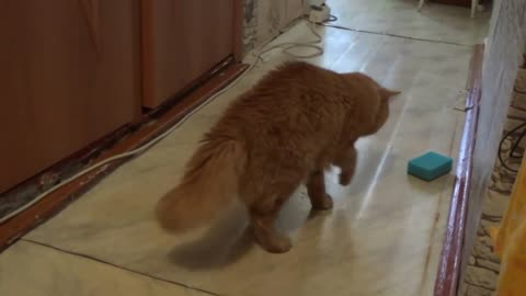 The cat plays with a sponge and it's very funny