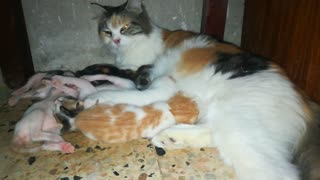 Mother Cat Feeds her baby Born