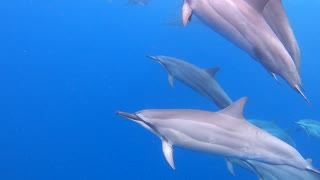 Swimming with a Herd of Dolphins in Hawaii