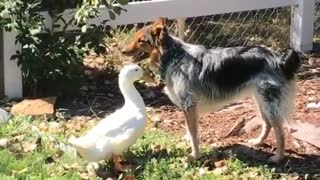 Duck messing with brown dog