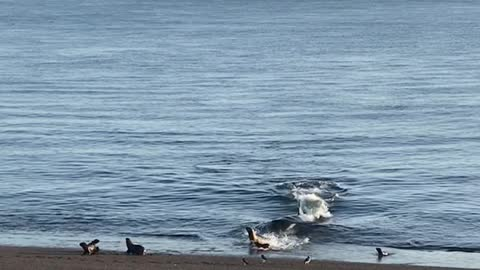 Female Orca Whale Successfully Claims a Meal