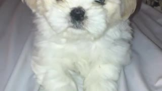 White puppy on white bed linens - Video