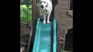 Playful Golden Retriever Discovers The Slide For The First Time - Video