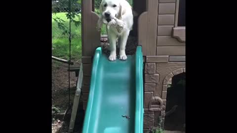 Playful Golden Retriever Discovers The Slide For The First Time