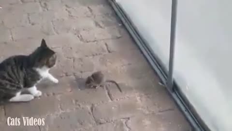 Cat Bullying With A Rat Comdey