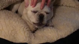 White bulldog gets head scratched on dog bed - Video