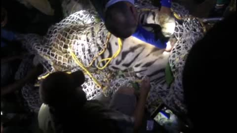 Terrifying tiger caught after four months in India