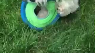 Dog Plays With Frisbee - Video