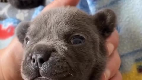 "Frenchie puppy tries his best to say ""I love you"""
