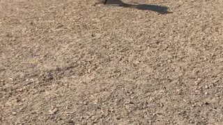 2 Racing Dogs Runing with Each Other
