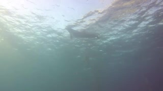 Dolphins swimming in the Red Sea, Eilat Israel 3