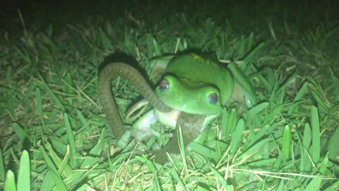 Green Tree Frog Snacks on a Snake