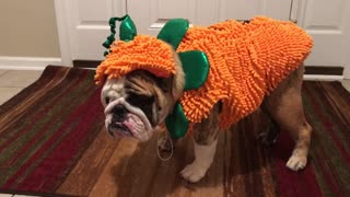 Bulldog can't stand his Halloween outfit - Video