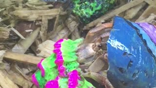 Colorful Hermit Crab Changes Shells - Video