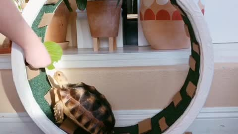 Tortoise Motivated By Treats To Use Hamster Wheel