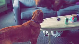Brown dog parking and spinning in circles on couch  - Video