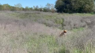 Aggressive Coyote Charges Lab