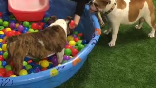 Dogs thrilled to play in mini pool ball pit - Video