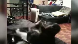 Epic Cats Fight! With Backfire