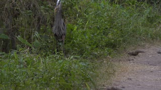 Great Blue Heron trying to swallow a large snake